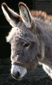 Photograph of the head of a donkey